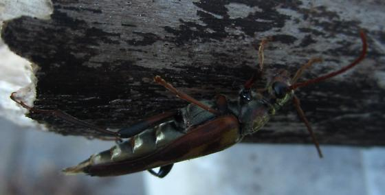 longhorn beetle - Bellamira scalaris