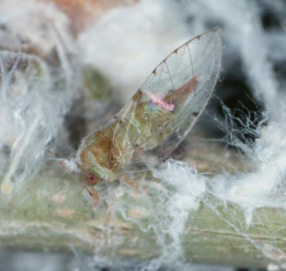 Macrohomotoma gladiatum - Macrohomotoma gladiata