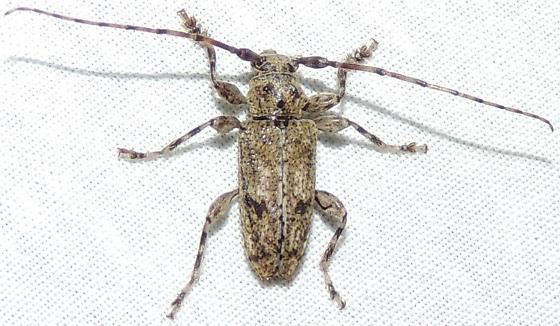 Long-horned small gray beetle - Aegomorphus modestus