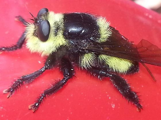 Bee Hawk - Mallophora orcina