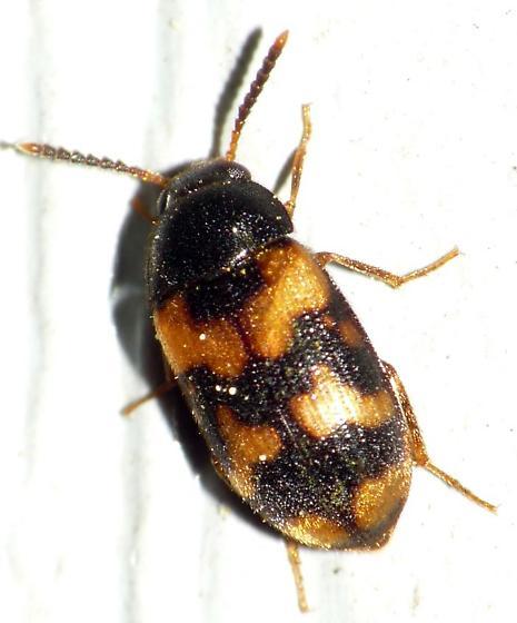 Hairy Fungus Beetle? - Mycetophagus flexuosus
