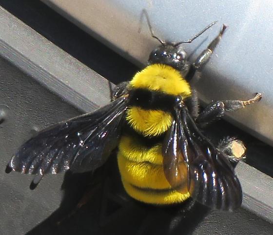 Sonoran Bumblebee - Bombus sonorus