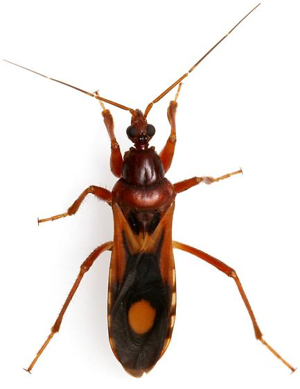 Rasahus thoracicus