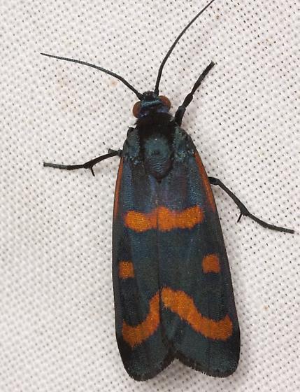 8999 – Cydosia aurivitta Grote & Robinson - Cydosia aurivitta - male