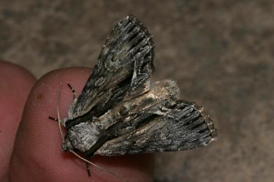 Moth reared from gray, hairless caterpillar in spring - Hyppa xylinoides