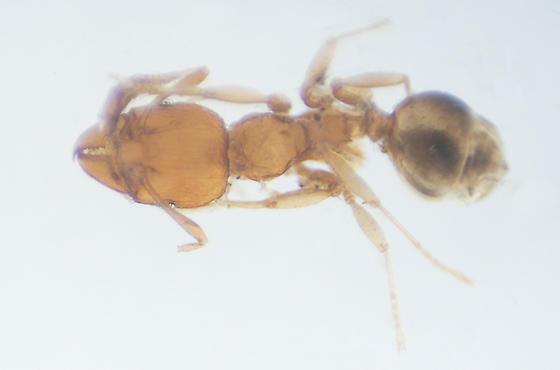 Pheidole dentigula minor worker? - Pheidole dentigula - female