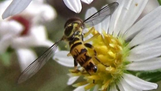 Syrphid Fly (Syrphidae) species? - Toxomerus geminatus