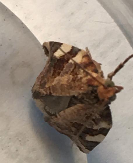 Small brown moth - Archips argyrospila