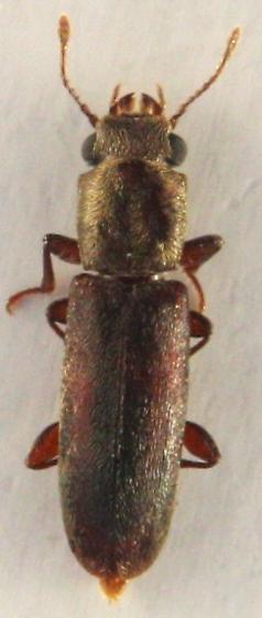 Cathartosilvanus sp ? - Trogoxylon parallelipipedum - female