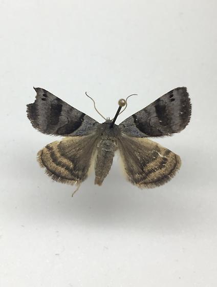 Small brown/grey moth - Caenurgina crassiuscula