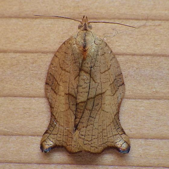 Tortricidae: Archips purpurana - Archips purpurana