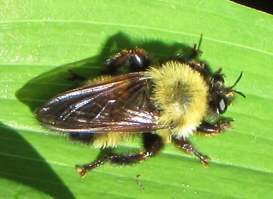 Bee like robberfly - Laphria thoracica