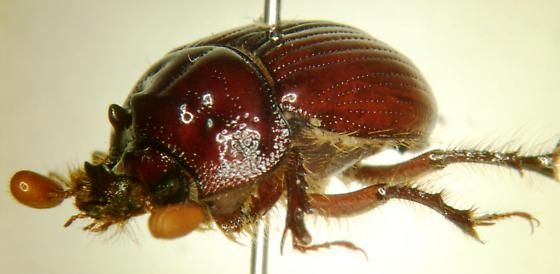 Scarab 3 - Eucanthus lazarus - male