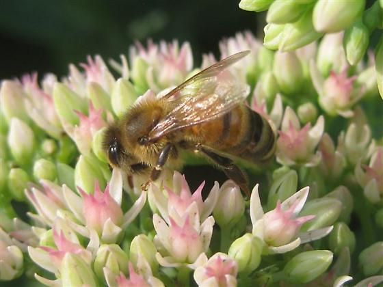 Bee for ID - Apis mellifera