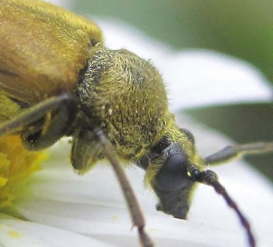 DSA longhorn - Lepturobosca chrysocoma