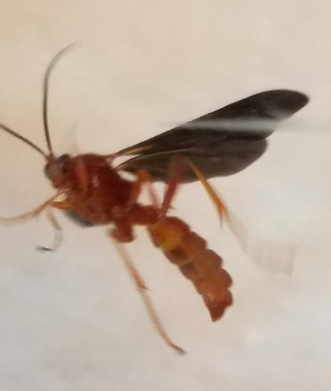 Orange-red body, black wings.  Wasp.  Came out of a Great Eastern Swallowtail pupa. - Trogus pennator
