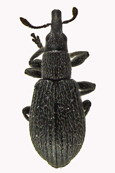 Straight-snouted Weevil - Perapion curtirostre