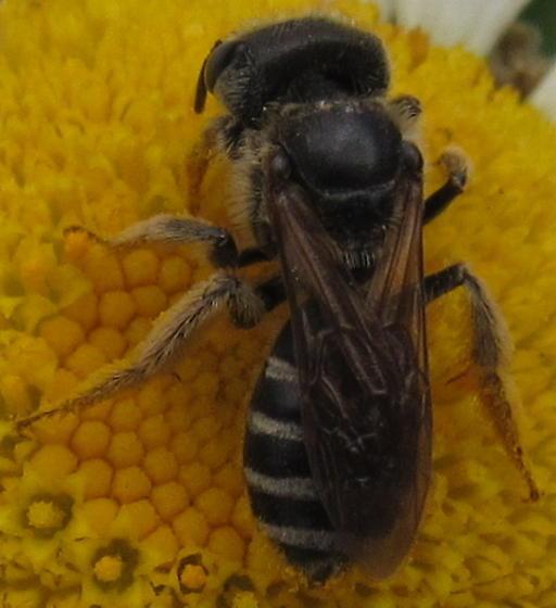 Ligated Furrow Bee - Halictus ligatus - female