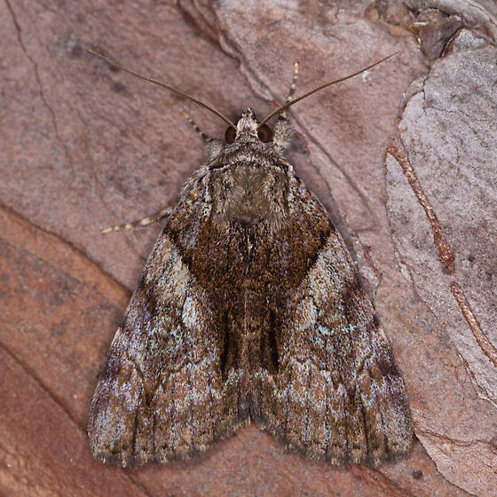 Catocala Species - Catocala pretiosa