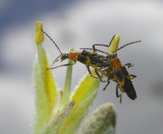Beetle - Belotus abdominalis - male - female