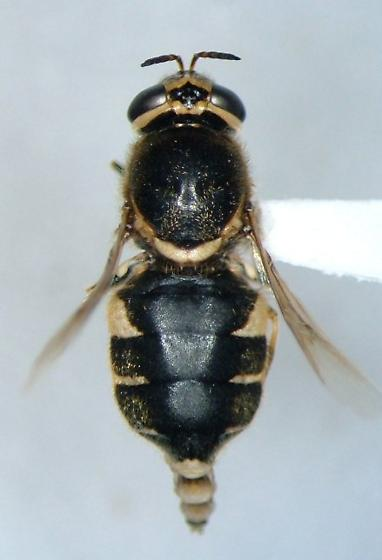 Psellidotus defecta - Psellidotus defectus - female