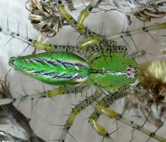 Peucetia viridans - female