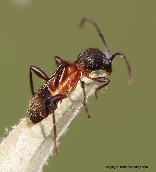Cyrtophorus verrucosus? - Cyrtophorus verrucosus