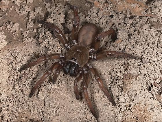 Spider, medium large, FANGS - Aptostichus stanfordianus - female