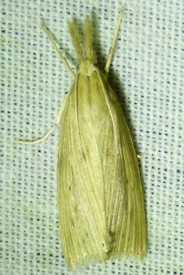 unknown moth - Eoreuma densellus