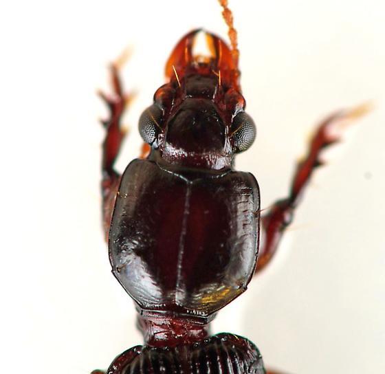 Ground Beetle - Clivina americana