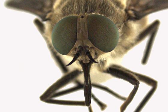 Horse fly - Stonemyia tranquilla - female