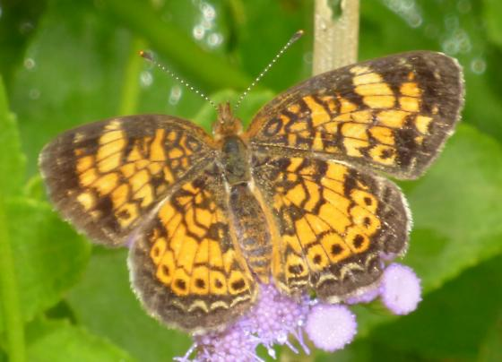 UnknownButterfly38 - Phyciodes tharos