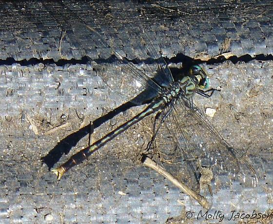large dragonfly - Arigomphus villosipes