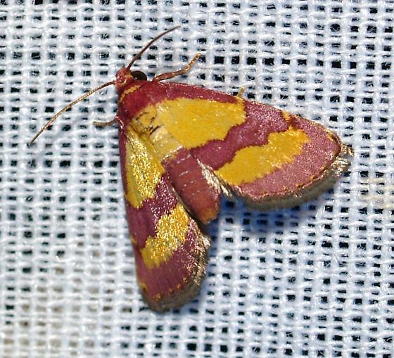 Moth - Phoenicophanta bicolor