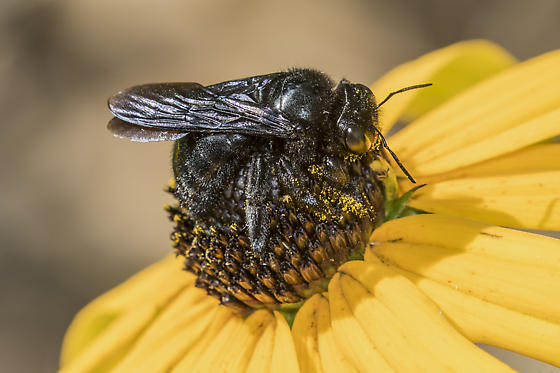 small black bee - Xylocopa mexicanorum