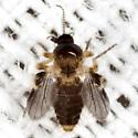 Biting Midge - Forcipomyia - female