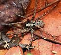 Spider - Gladicosa pulchra