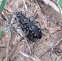 Unknown bug on farm SE Texas - Cicindelidia ocellata