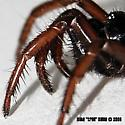 folding door spider? - Atypoides riversi - female