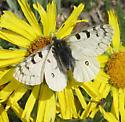 Butterfly on Old-Man-of-the-Mountain (Rydbergia grandiflora) - Parnassius smintheus - male