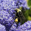 yellow-faced bumblebee - Bombus