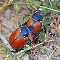 Carrizo Beetles - Paracotalpa ursina