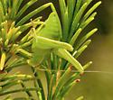 Family Tettigoniidae - Montezumina modesta - female