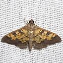 Darker Diacme Moth - Hodges #5143 - Diacme adipaloides
