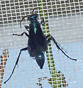 Chalybion californicum