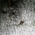 Sheetweb Spiders - Drapetisca alteranda - male - female