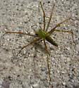 Male Green Lynx spider in Ventura, CA? - Peucetia viridans