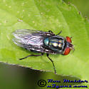 Blow fly - Cochliomyia macellaria