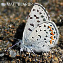 Small Blue Butterfly - Euphilotes
