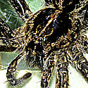 Spider large black and gold by water  - Dolomedes scriptus - female